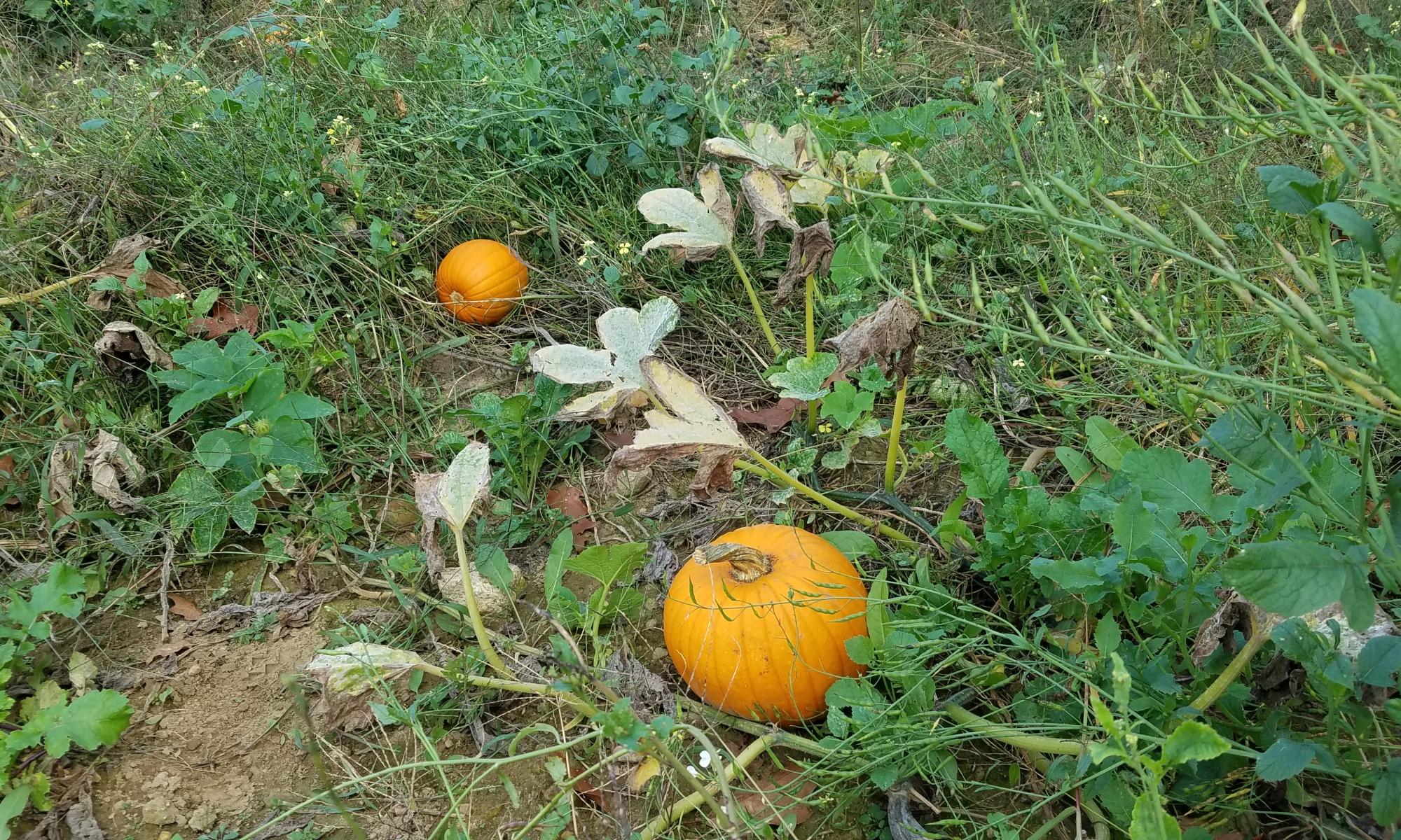 review-of-Pumpkin-Picking-at-Boston-Hill-Farm-North-Andover-MA